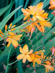 Crocosmia 'African Glow'  Love the coloring on this one!  Far Reaches Farm