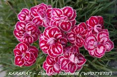 Dianthus (Caryophyllaceae)