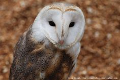 We had barn owls in our barn summer '11!