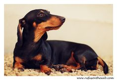 Emily, a success story. http://wp.me/p27Fw1-sH #dachshund #doxies #happyendings