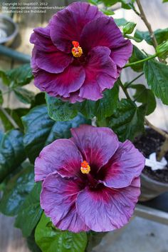 Purple lace Hibiscus