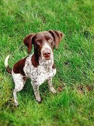 all dog facts research findings and behaviors of all breeds: POINTER DOG Gsp Puppies, Pointer Puppies, Pointer Dog, Best Dog Breeds, Small Dog Breeds, German Shorthaired Pointer Black, Short Haired Pointer, French Dogs, German Shorthaired Pointer