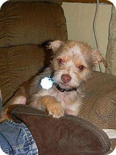 Baton Rouge, LA - Schnauzer (Miniature)/Yorkie, Yorkshire Terrier Mix. Meet Topper, a dog for adoption. http://www.adoptapet.com/pet/9658012-baton-rouge-louisiana-schnauzer-miniature-mix