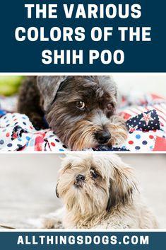 Shih Poo Colors Shih Poo Shih Poo Puppies Shih Tzu Poodle Mix