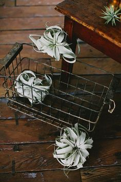 Tillandsia in a vintage, rustic setting.