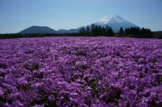 Mt.Fuji Moss Phlox Garden