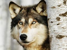 Could the wolf return to western Europe? - Europe - World - The ...