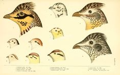 Limes and Quail Quail, Cover Photos, Eggs, Birds, Pictures, Animals, Image, Daughter, Digital