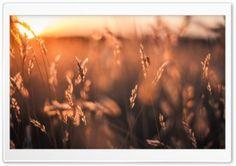 Golden Sun Rays Field HD Wide Wallpaper for Widescreen