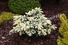 Picea-pungens-Byckowsky