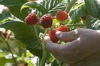 Fruits et verger - Planter un framboisier