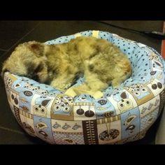 Nosso Toby na cama nova. Ele adorou!!