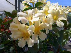 Flowering Shrubs, Blondies, Plants, Photography, Flowering Bushes, Photograph, Fotografie, Photoshoot, Plant