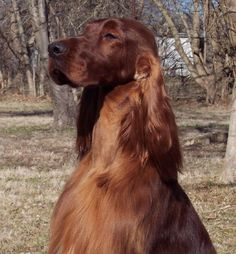 Had a setter..... The best dog ever