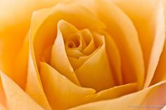 Yellow Rose #yellow #rose #texas. One year got a rose off the Rose bush and gave it to my Mom as a gift for Mother's day. We as daughters also got Roses.