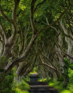 The Dark Hedges, A tunnel of 300 year old beech trees near Armoy, Ireland