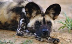 African wild dogs: They form packs up to 40 members, each with a dominant breeding pair, that remain monogamous for life. They're co-operative hunters, relying on sight rather than smell to pinpoint prey. They reach speeds up to 55 kmph, and sometimes disembowel prey while it is still running. -BBC Nature