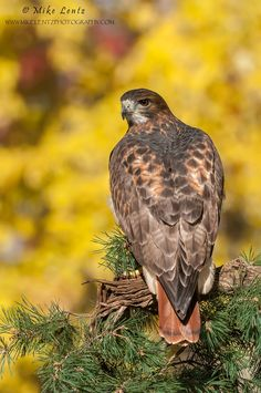 Red-tailed Hawk by Mike  Lentz on 500px