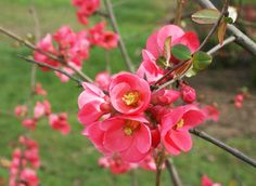 Le cognassier du Japon, arbuste à fleurs et fruits du jardin : conseils de jardinage, culture, plantation, floraison, entretien, caractéristiques, variétés e...
