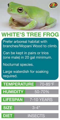 Frog Discover Zb 11 Beginners Guide to Amphibians Whites Tree Frog Care Sheet. Learn the basics of Whites Tree Frog habitat setup and care needs before bringing home your new pet. Gray Tree Frog, Red Eyed Tree Frog, Tree Frog Terrarium, Dumpy Tree Frog, Tree Frog Tattoos, Frog Food, Iguana Pet, Frog Tank, Frog Habitat
