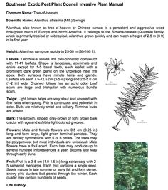 A rather harsh opinionated article on this fine tree but has some good info on flowering.  Common Name: Tree-of-Heaven  Scientific Name: Ailanthus altissima (Mill.) Swingle