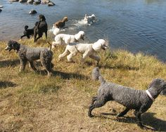 Poodles at Tahoe - just try keeping them out of water ☺ #dogs #poodles
