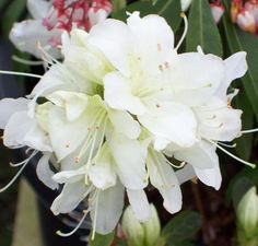 Buy Rhododendron Palestrina (Evergreen Dwarf Japanese Azalea) This is a hardy, evergreen variety of azalea which bears single, pure white flowers which have a faint, pale yellow-green ray in the throat. These are produced above pale green, ovate leaves between May and June. It reaches a height of about 1 metre with a spread of 70cm, and looks most spectacular when grown in full sun.