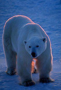 Polar Bear Outlined In Evening Sun alaska Pictures Of Polar Bears, Bear Pictures, Mundo Animal, My Animal, Polar Bear Outline, Cute Polar Bear, Animals Beautiful, Cute Animals, He's Beautiful