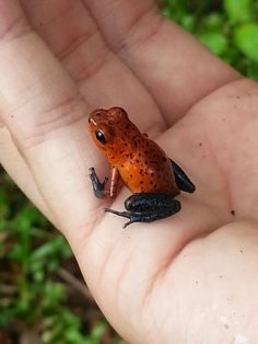 Hold a Blue-Jean Poison Dart Frog in Costa Ríca