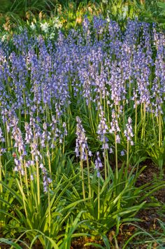 Spanish Bluebells   Bulbs to plant in part shade