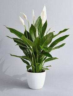 Peace Lily Air Purifying Plant – Easy Care Low Light Houseplant, Housewarming Present, Sympathy Gift, indoor Garden - House Plants Best Indoor Plants, Cool Plants, Buy Plants, Indoor Plants Low Light, Indoor Herbs, Indoor Outdoor, Jade Plants, Green Plants, Succulent Plants