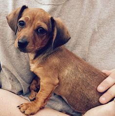 Meet Gidget, an adopted Dachshund Dog, from Southern California Dachshund Rescue in La Habra, CA on Petfinder. Learn more about Gidget today. Dachshund Rescue, Rescue Dogs, Animal Rescue, Dachshunds For Sale, Pet Finder, Shelter Dogs, Animal Rights, Cute Baby Animals, Puppy Love