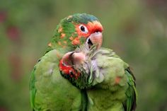 Bird Love Photo and caption by Dirk Kanz  Two Red-masked Parakeets posing for the camera. Seen near Cuzco, Peru. Location: Cuzco, Peru  Category: Spontaneous Moments