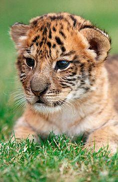 liger | Liger – Cross between tiger and a lion.