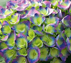 Hydrangea Cityline® Rio F/P Sun zones 5-9    This is ridiculously beautiful AND I MUST HAVE IT!! It says pink edges for alkaline soil, and those gorgeous blue-purple on acidic... I have acidic soil! Woohoo!