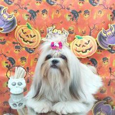 Pet Shop, Shih Tzu, Love Dogs, Halloween, Anime, Art, Fluffy Animals, Groomsmen, Cats