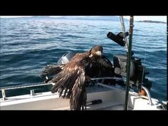 Fisherman Rescues Exhausted Eagle in Amazing Video - The Good News Network. ((I love how he talks to the eagle through the whole video. xx))