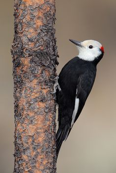 White-headed Woodpecker (Picoides albolarvatus)