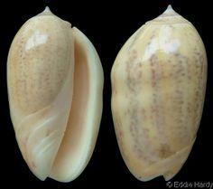 Oliva (Strephona) incrassata