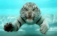 Tigre de Bengala tomando banho de piscina