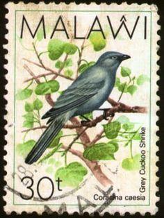 Malawi - El Oruguero Gris es una especie de ave en la familia Campephagidae.