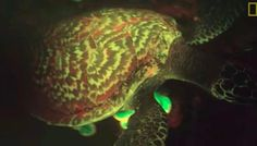 Scientists Are Adorably Excited To Discover Glowing Turtle