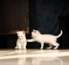 White Kittens
