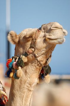 Photo about Camel at sun in Africa. Image of cairo, east, famous - 3636356 Babylon Iraq, Animals And Pets, Cute Animals, Desert Design, Farm Yard, Animals Beautiful, Mammals, Wildlife, Elephant