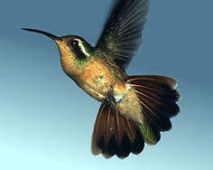 Xantus' Humming Bird. The Xantus' is a Mexican Humming Bird, normally found only in Baja California, but a nest was found in southern California. In November of 1997 one bird was observed in British Columbia.