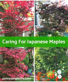 How To Grow Japanese Maples In Hot Climate Japenese Maple, Acer Trees, Bloodgood Japanese Maple, Maple Tree, Chickens Backyard, Green Leaves, Agriculture, Gardening Tips, Grass