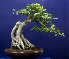 Ficus bonsai trees are one of the most graceful and beautiful trees. Also known as the common Chinese Banyan, these bonsai trees grows naturally in Southwest Asia. Bonsai Ficus, Flowering Bonsai Tree, Bonsai Tree Care, Bonsai Soil, Indoor Bonsai Tree, Ficus Tree, Bonsai Art, Bonsai Plants, Bonsai Garden