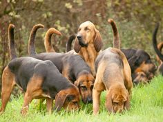 Hang on. why are hunt saboteurs targeting drag hunts? Bloodhound Dogs, Beagles, Akc Breeds, Dog Nose, Dog Stories, Search And Rescue, Basset Hound, Cute Dogs, Your Dog