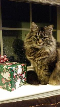 Layla Cat | Pawshake