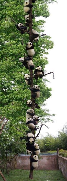 15 Panda Facts (Funny & Real) Panda Facts – The panda is not special just because it is one of the most well known and charismatic animals on earth. Cute Little Animals, Cute Funny Animals, Nature Animals, Animals And Pets, Animals Images, Panda Tree, Panda Facts, Baby Panda Bears, Baby Pandas